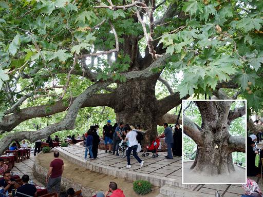 Bursa'nın  6 asırlık çınar ağacı İNKAYA ÇINARI'nı görün!